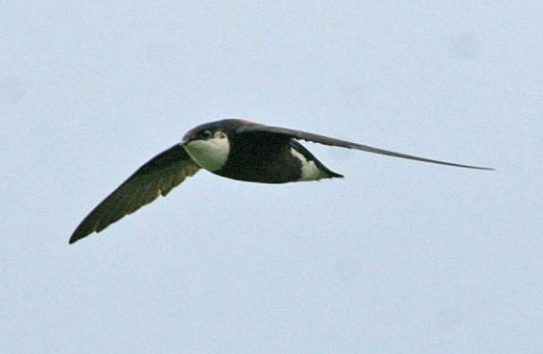Papuan Spine tailed swift animale rapide