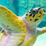aquarium sea turtle