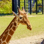 Fort Worth Zoo giraffe