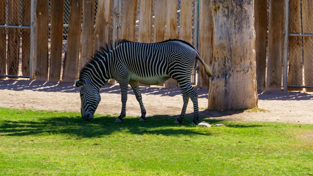 zebra Reid park zoo