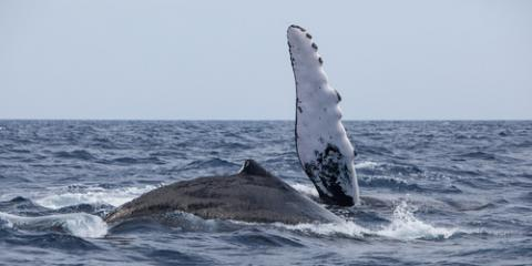 Check Out These 3 Fascinating Facts About Humpbacks Before Your Whale Watching Adventure, Kekaha-Waimea, Hawaii