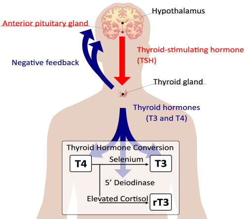 small resolution of most conventional doctors will check tsh to assess thyroid function a high tsh generally indicates that the pituitary gland is yelling at the thyroid to