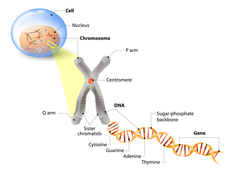 Cell, Chromosome, DNA and gene. Cell Structure. The DNA molecule is a double helix. A gene is a length of DNA that codes for a specific protein. Genome Study