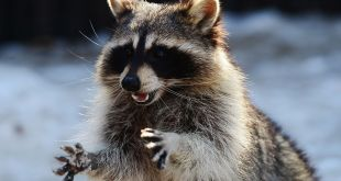 Raccoon data theft program