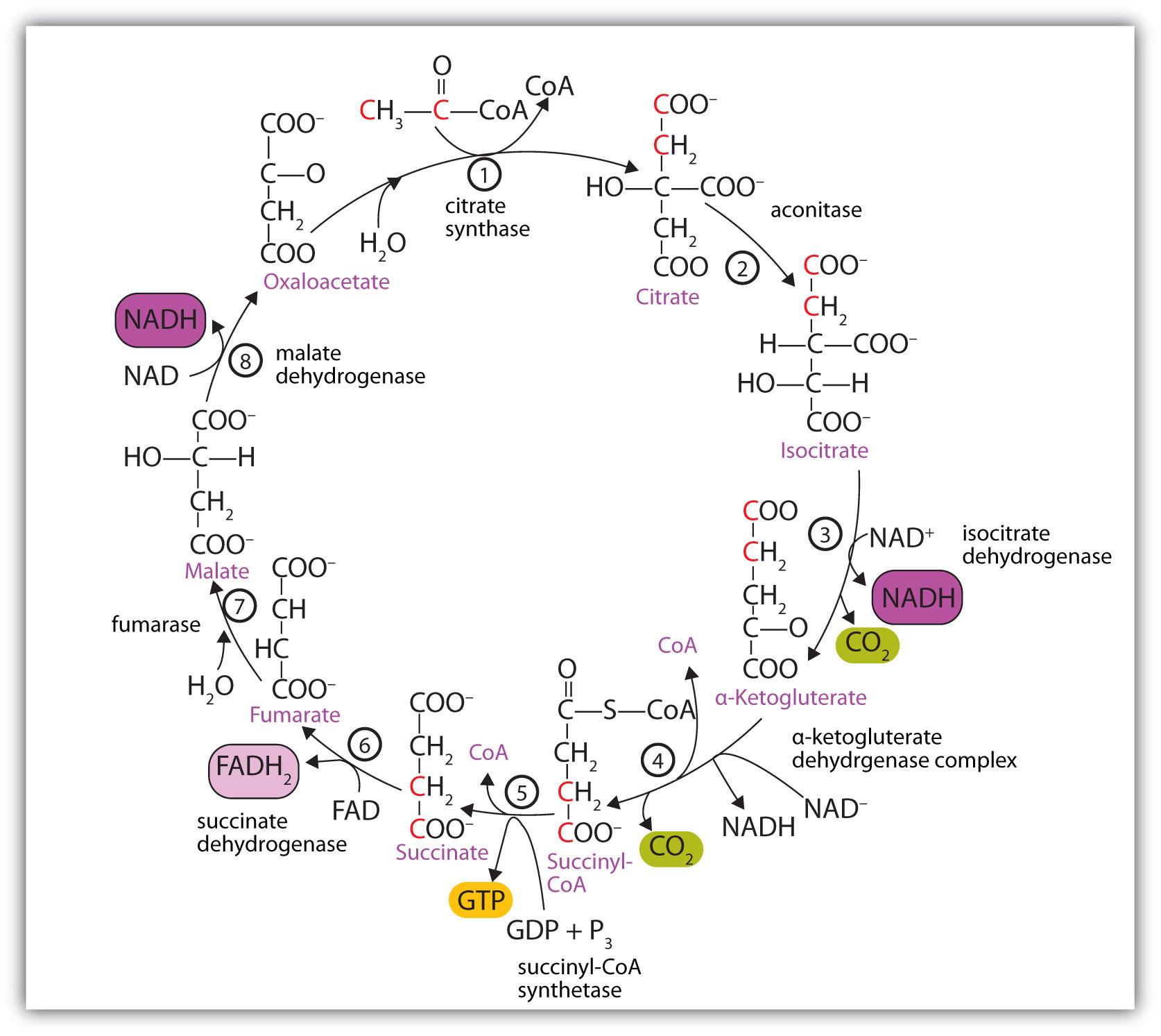 explain krebs cycle with diagram 05 f150 ac wiring chris tokuhama