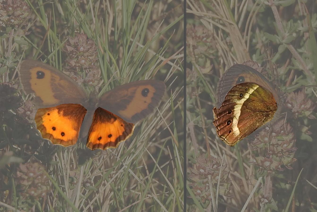 papillons identifier vos premieres
