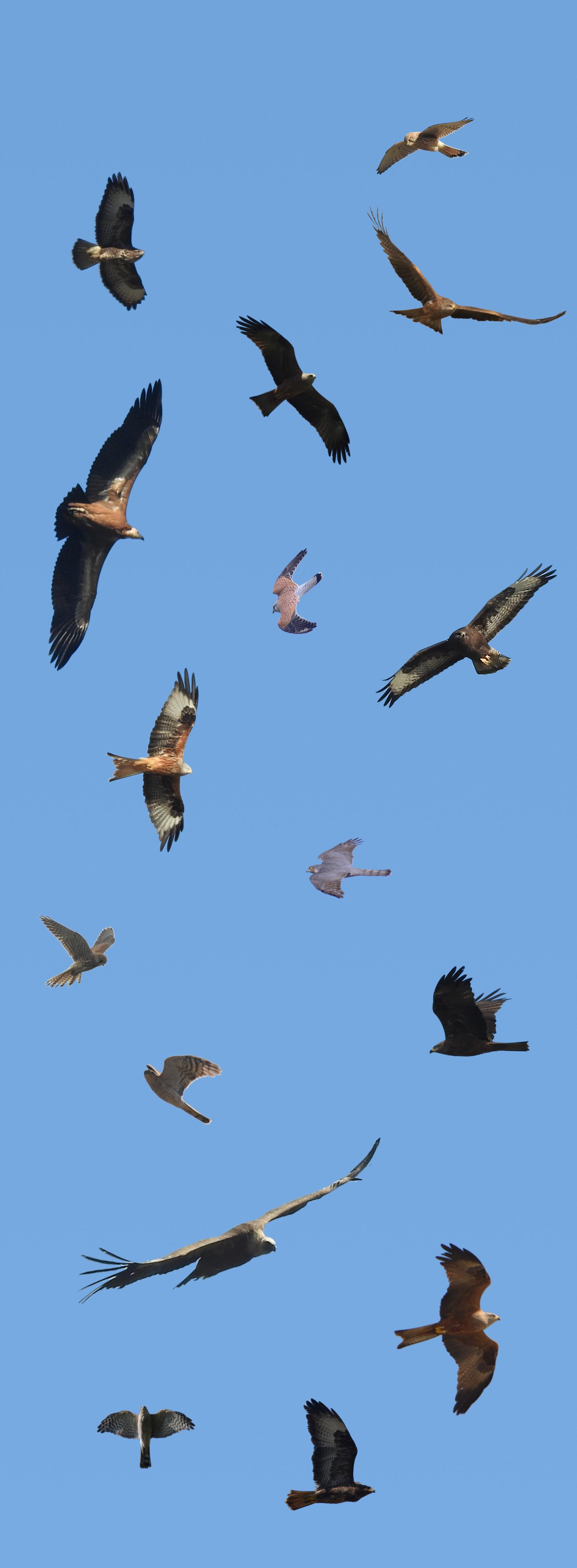 Oiseau Qui Vole Le Plus Haut : oiseau, Rapaces, Identifier, Premières, Espèces