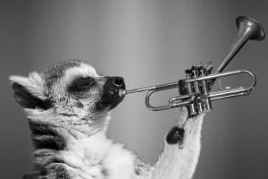 Lémurien trompettiste