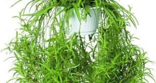Điếu lan - một trong số cây kiểng lọc không khí