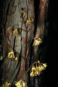 Erythrorchis cassythoides
