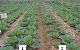 Thực hiện trồng rau trên ruộng thí nghiệm và đối chứng theo phương pháp canh tác hữu cơ