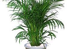 Cau vàng- cây cảnh thường được chọn trang trí trong nhà