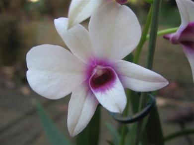 Dendrobium mini
