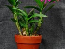 hoa lan Dendrobium mini