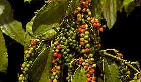 Cây tiêu - loài cây có khả năng chống chịu kém