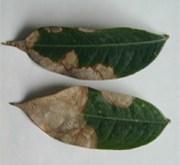 Lá sầu riêng bị thán thư (Collectotrichum zibethinum)