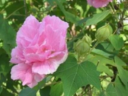 Lá, hoa Phù dung có tác dụng chữa bệnh