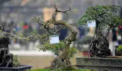 cây cảnh chưng bày dịp Tết