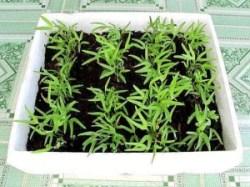 cách gieo trồng rau màu bằng gieo hạt