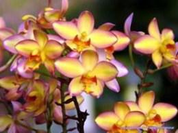 Spathoglottis 'Mello Yellow'