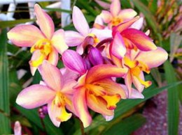Spathoglottis parsonii x Java Beauty