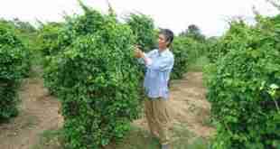 Hướng dẫn cách trồng dây lá giang