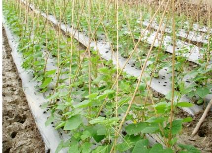 bón phân cho rau khi sử dụng màng phủ nông nghiệp