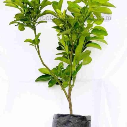 Chọn cây ăn trái trồng trên vùng đất bị nhiễm mặn