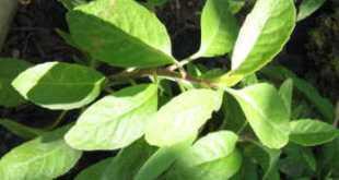 Rau bầu đất dây giúp thanh nhiệt giải độc