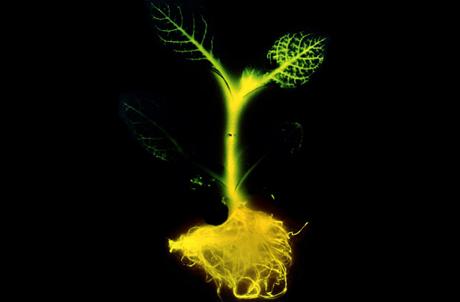 Kỳ lạ với hình ảnh cây phát sáng có thể thay thế đèn đường