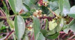 Hoa và lá dây sưng