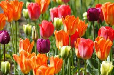 tulip 4 s
