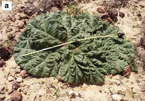 nhìn từ xa cây Đại Hoàng hoang mạc trông giống như một cây Cải Xoăn