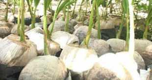 dừa giống