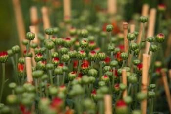 Làng hoa