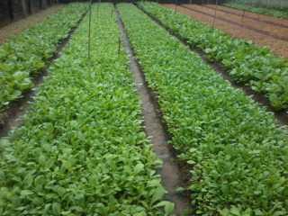 trồng rau an toàn