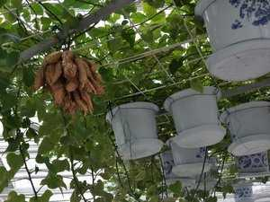 Mô hình trồng khoai lang leo giàn