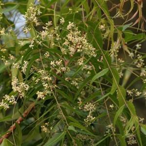 Hoa và lá cây Neem