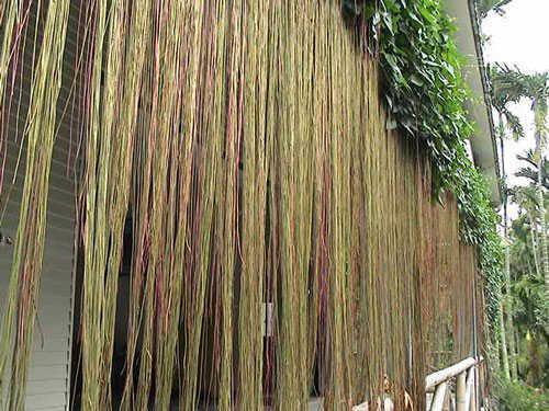 Rễ dây Liêm hồ đằng lần lượt buông thõng xuống, thân cành vươn đến đâu, rễ lại buông đến đấy, tạo thành một bức rèm trông rất đẹp mắt.