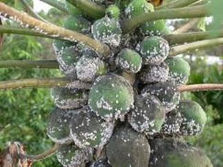 Rệp sáp thường gây hại trên cây đu đủ vào mùa nắng