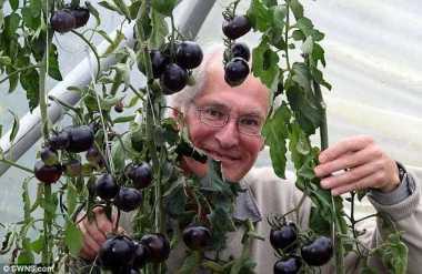 Ông Ray Brown đang sở hữu ba cây cà chua đen. Ảnh: SWNS.