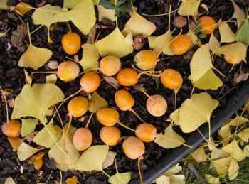 Quả cây bạch quả chứa hai loại axit, tạo ra mùi hôi khó chịu khi bị dẫm nát. Ảnh: Doorbell.net.