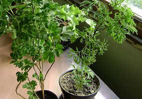 Cành giâm sau khi ra rễ được đem trồng vào chậu