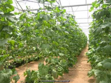 Dưa lưới được trồng trong các nhà màng tránh côn trùng và sâu bệnh.
