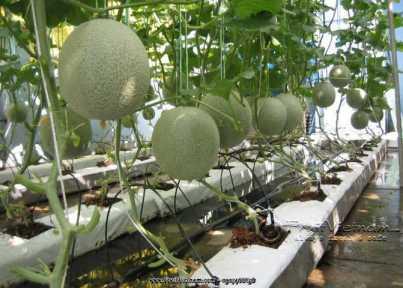 Dưa lưới được trồng trong môi trường sạch