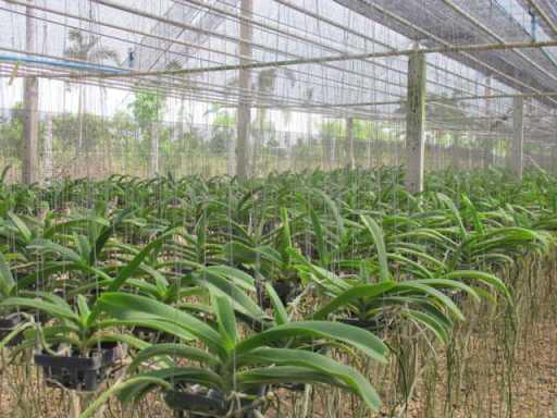 mô hình trồng lan- Thái Lan
