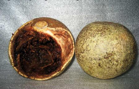 Trái quách gần giống trái dừa gần già, không dễ vỡ và cơm quả có mùi rất đặc trưng