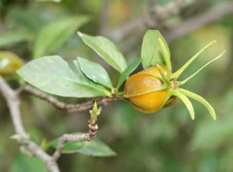 Trái cây dành dành