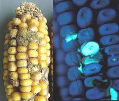 Aflatoxin B1 chứa trong thực phẩm bị nấm mốc rất có hại cho gan.