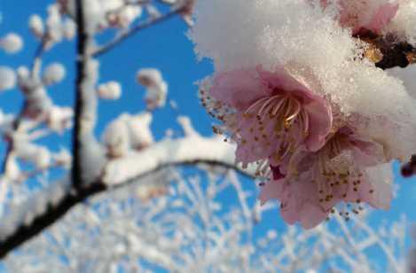 hoa tuyet s